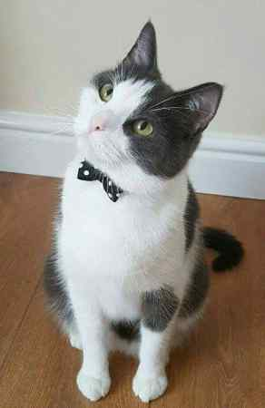 Missing British Short Hair Cat in Lochgelly