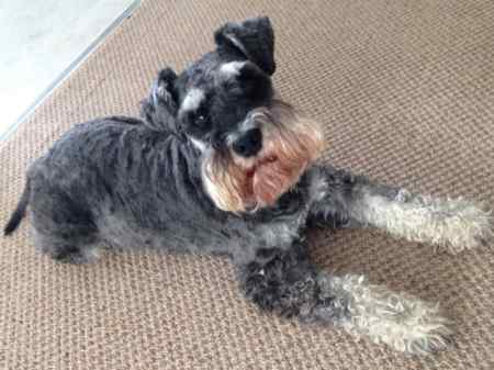 Missing Schnauzer Dog in Beckley