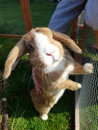 Missing Unknown - Other Rabbits in Tipton