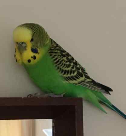 Lost Bird Budgie from Wymondham NR18 Norfolk