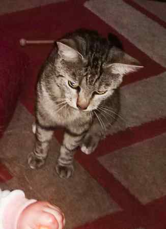 Missing Tabby Cat in Doncaster