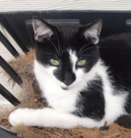 Lost Cat Moggy From Dagenham Essex