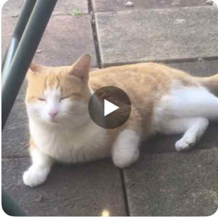 Missing British Short Hair Cat in Orpington