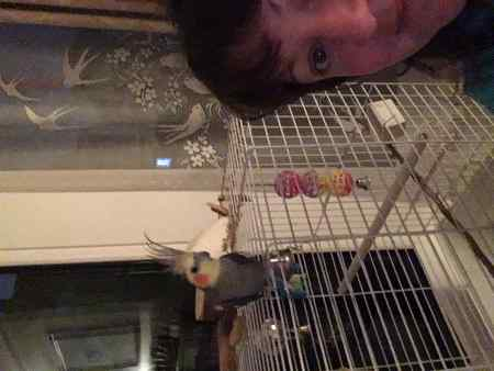 Missing Cockatiel Birds in Bristol