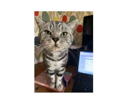 Missing British Short Hair Cat in Holcot