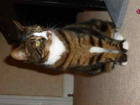 Missing Tabby Cat in Worthing