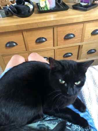Missing British Short Hair Cat in Brightlingsea