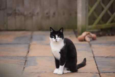 Missing British Short Hair Cat in Newport