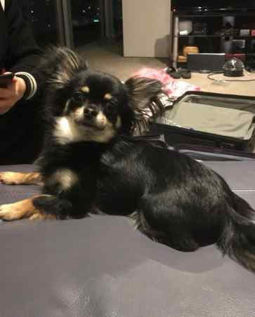 Missing Chihuahua Dog in Birmingham