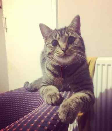 Missing Tabby Cat in Manchester
