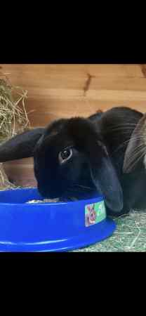 Missing Lop Eared Rabbits in Sidcup