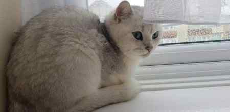 Missing British Short Hair Cat in Chelmsford