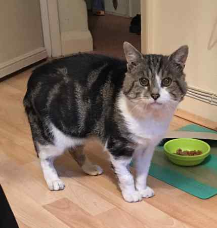 Missing British Short Hair Cat in Northolt