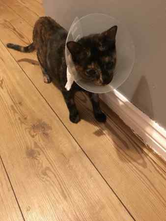 Missing Domestic Short Hair Cats in North Walsham