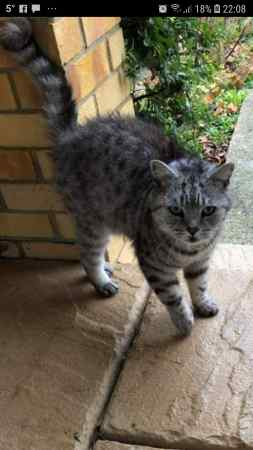 Missing British Short Hair Cat in Lancing