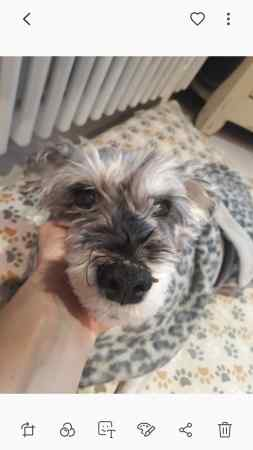 Missing Schnauzer Dog in Buckland,betchworth