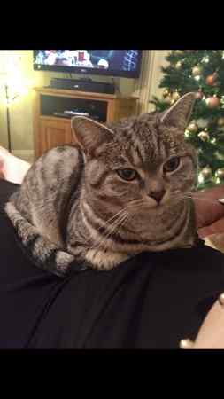 Missing British Short Hair Cat in Telford
