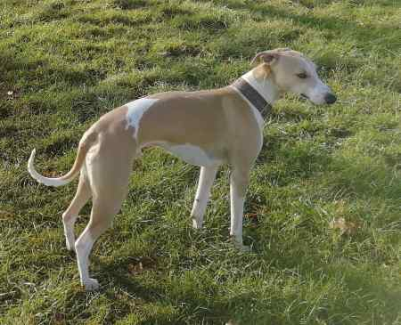 Missing Whippet Dog in Huntly