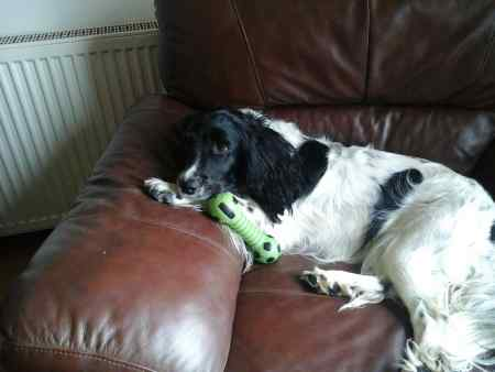 Missing Spaniel Dogs in TURRIFF