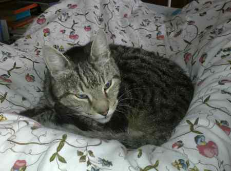 Missing Tabby Cat in Slough