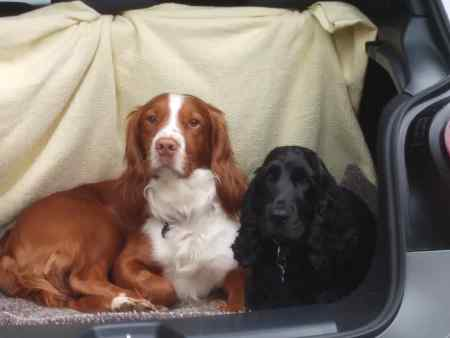 Missing Spaniel Dog in Chute Standen (near Andover)