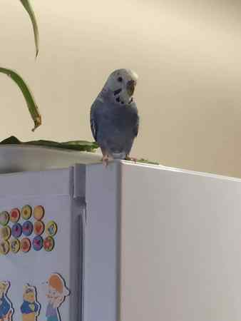 Missing Budgie Birds in Exeter