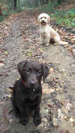 Missing Labrador Dogs in Canterbury