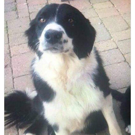 Missing Collie Dog in Draycott