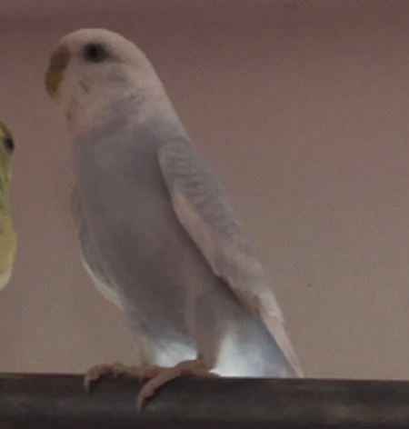 Missing Budgie Bird in Southampton
