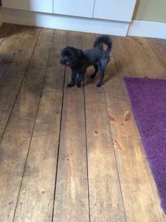 Missing Poodle Dogs in Thornton Heath
