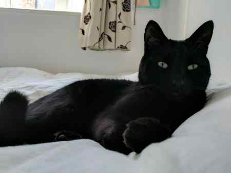Missing British Short Hair Cat in Brockley