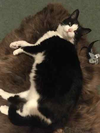 Missing Domestic Short Hair Cats in Islington London