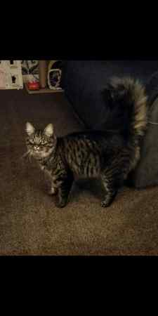 Missing Mixed Breed Cats in Rochdale