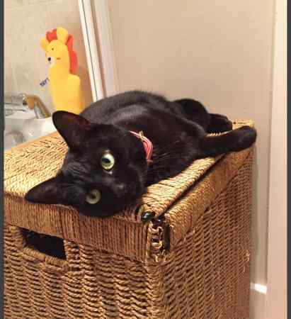 Missing British Short Hair Cat in Haywards Heath