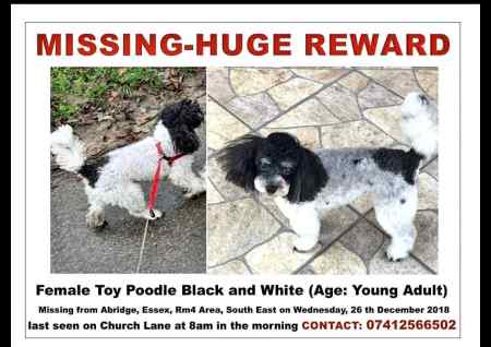 Missing Poodle Dogs in Abridge