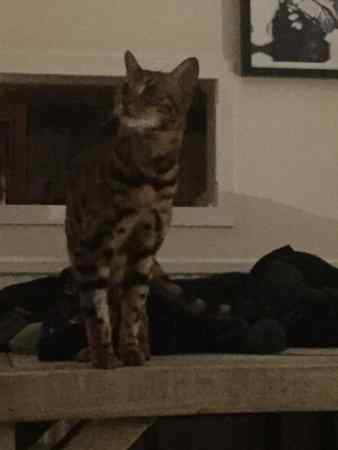 Missing Bengal Cat in Booker