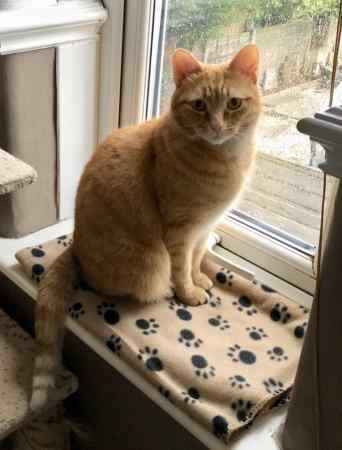 Missing Domestic Short Hair Cat in Failsworth Manchester