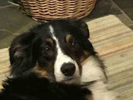 Missing Collie Dog in Bratton Fleming