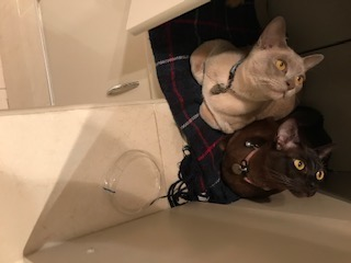 Missing Burmese Cats in London