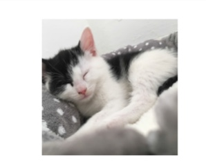 Missing Mixed Breed Cat in Penistone