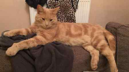 Missing Domestic Short Hair Cat in Norton Canes
