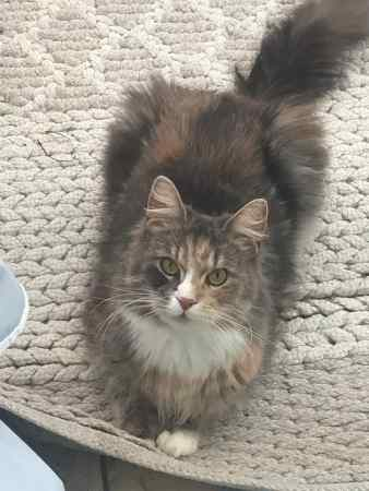 Missing Maine Coon Cat in Sale