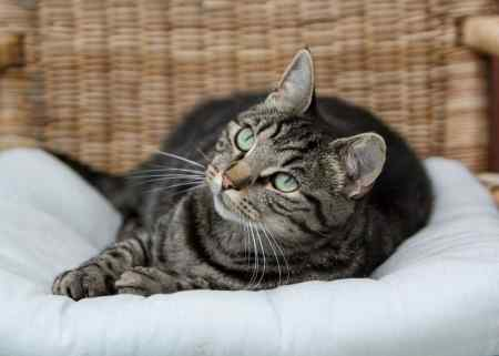 Missing Domestic Short Hair Cat in Weyhill, Andover