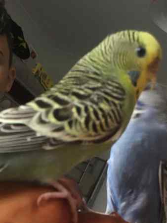 Missing Budgie Bird in Holmfirth