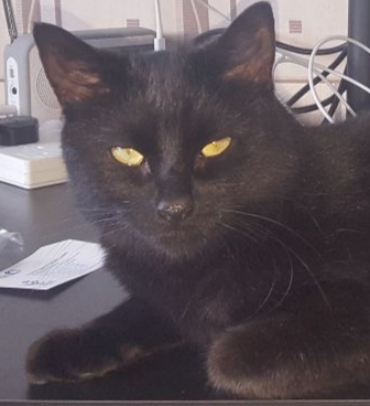 Missing Domestic Short Hair Cats in Maidstone