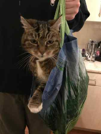 Missing Domestic Short Hair Cat in Leicester
