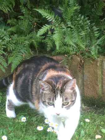 Missing British Short Hair Cat in Wimbledon Chase