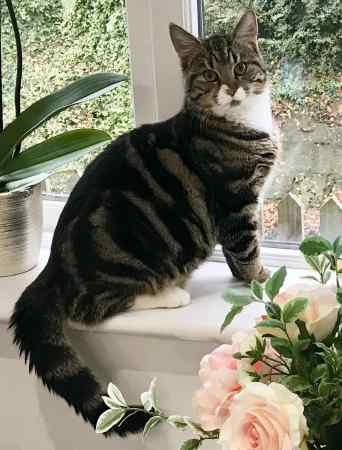 Missing Tabby Cat in Market Harborough