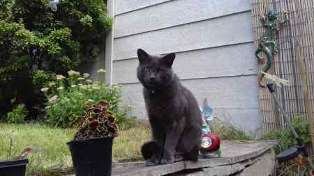 Missing British Short Hair Cat in Heywood
