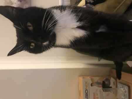 Missing British Short Hair Cat in Sutton Coldfield